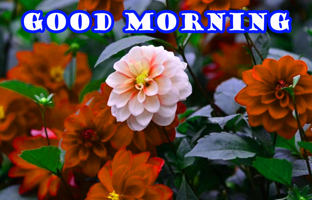 Good Morning Flowers Wallpaper Pictures Free HD