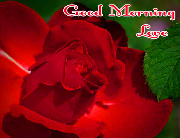 Flower  Good Morning Wallpaper Photo With Red Rose