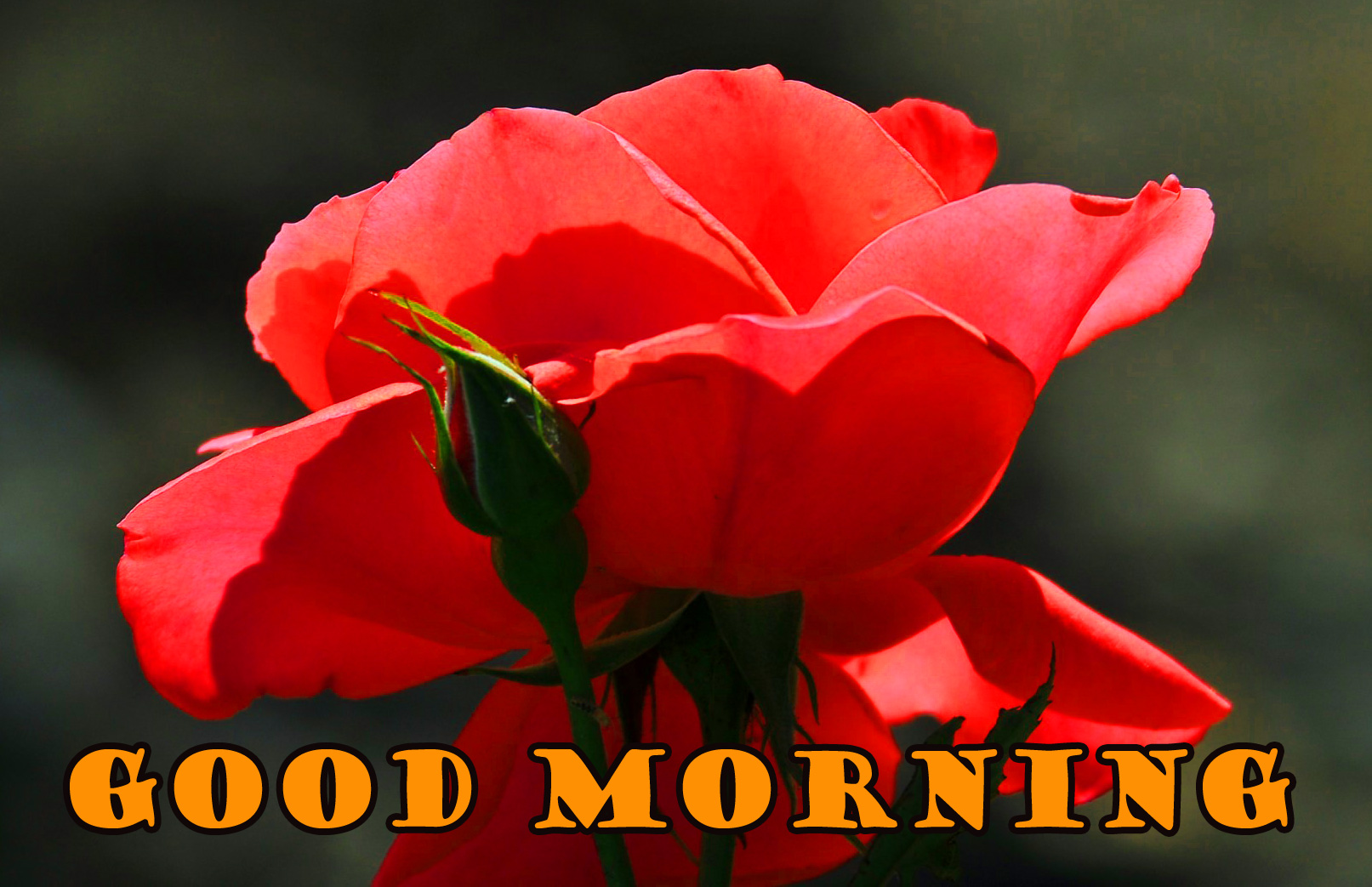 Good Morning Red Rose Images Photo Wallpaper Download