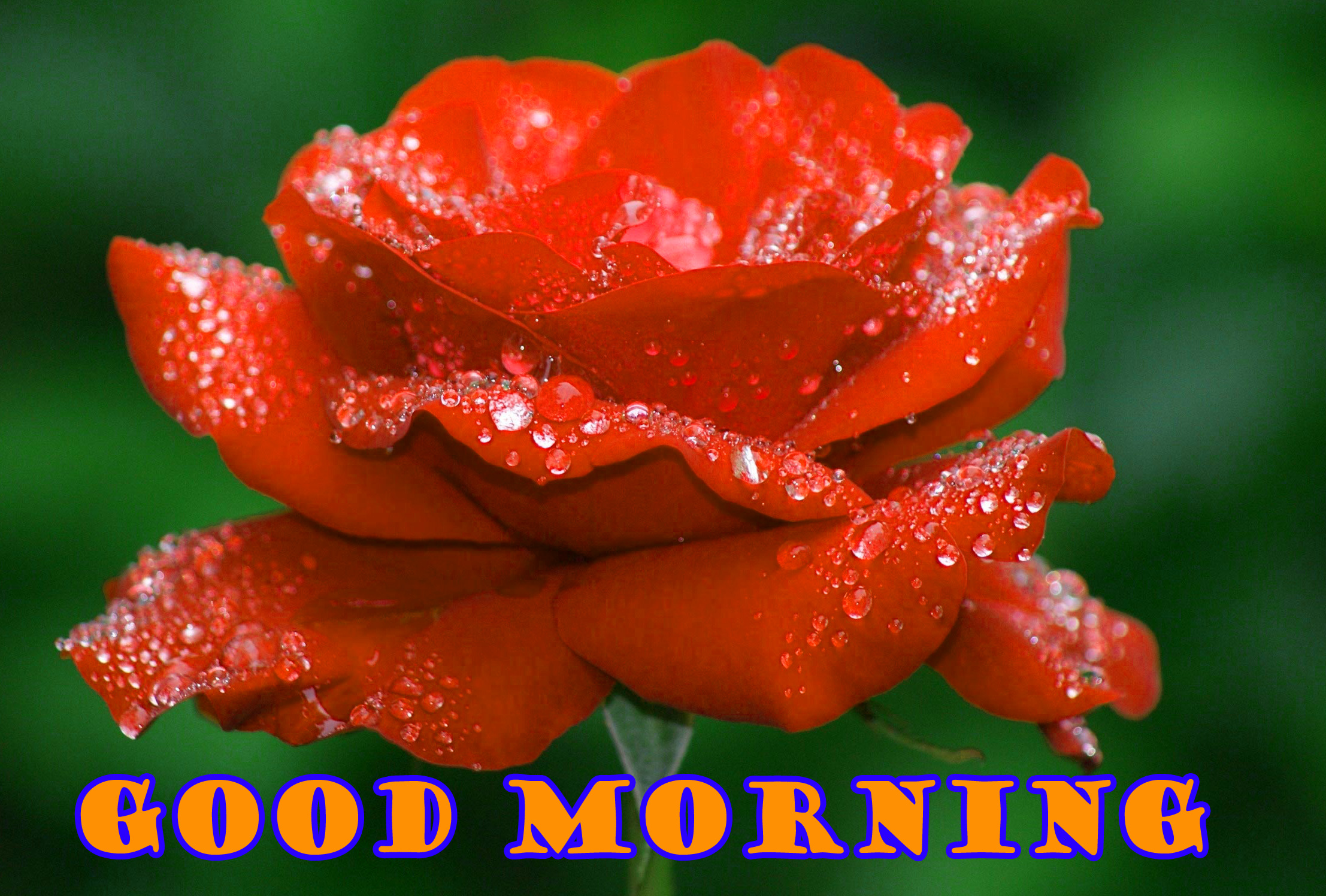 Good Morning Red Rose Pictures Images Photo HD Download