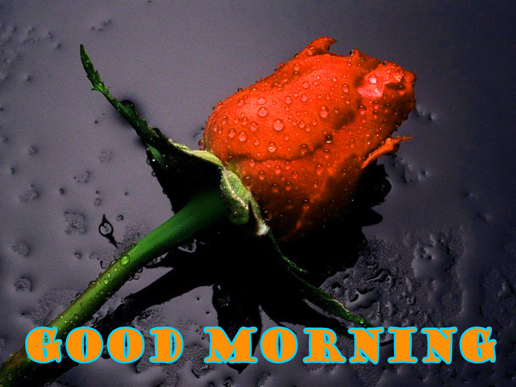 Good Morning Red Rose Wallpaper Pictures Images For Girlfriend