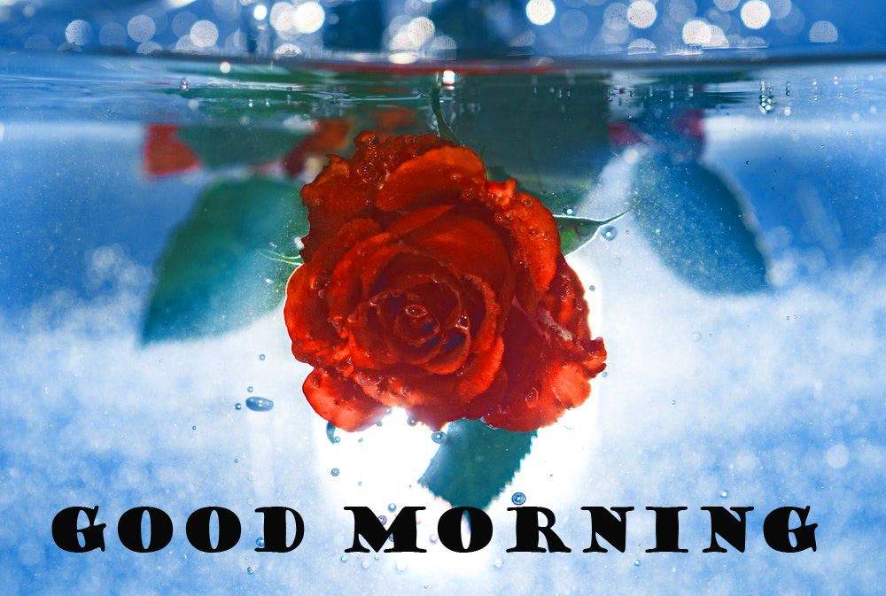 Good Morning Red Rose Pictures Images Photo Downlaod