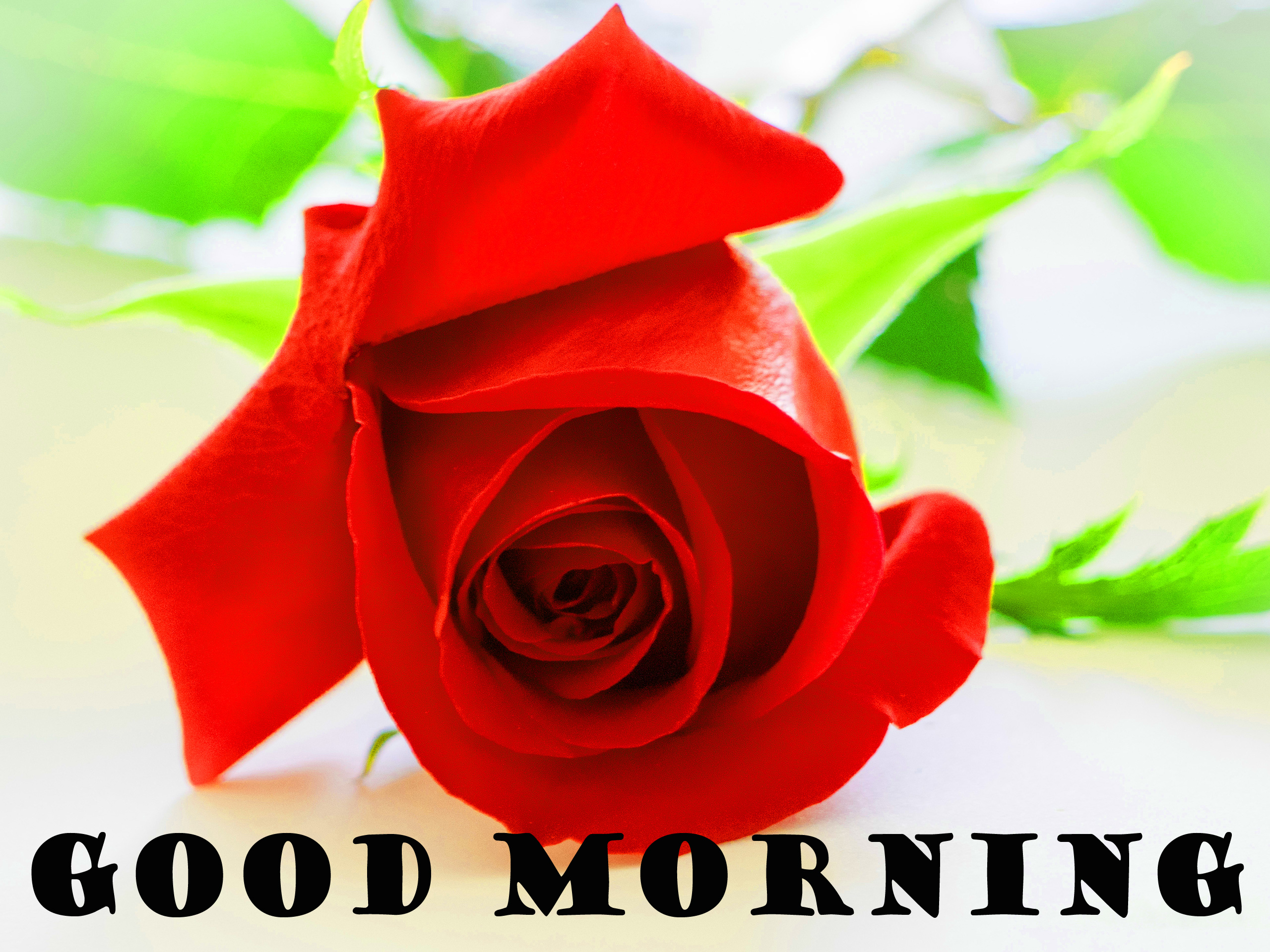 Good Morning Red Rose Images Photo Wallpaper HD