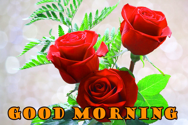 Good Morning Red Rose Wallpaper Pictures Free HD Download