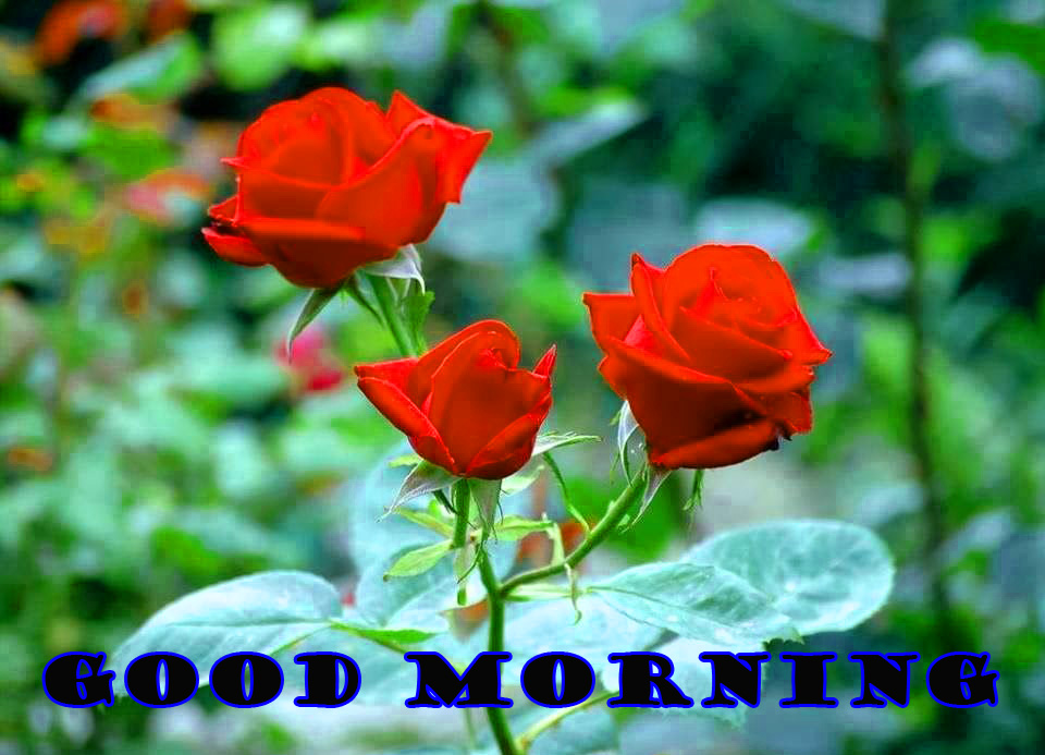 Good Morning Red Rose Photo Wallpaper Pictures Free HD