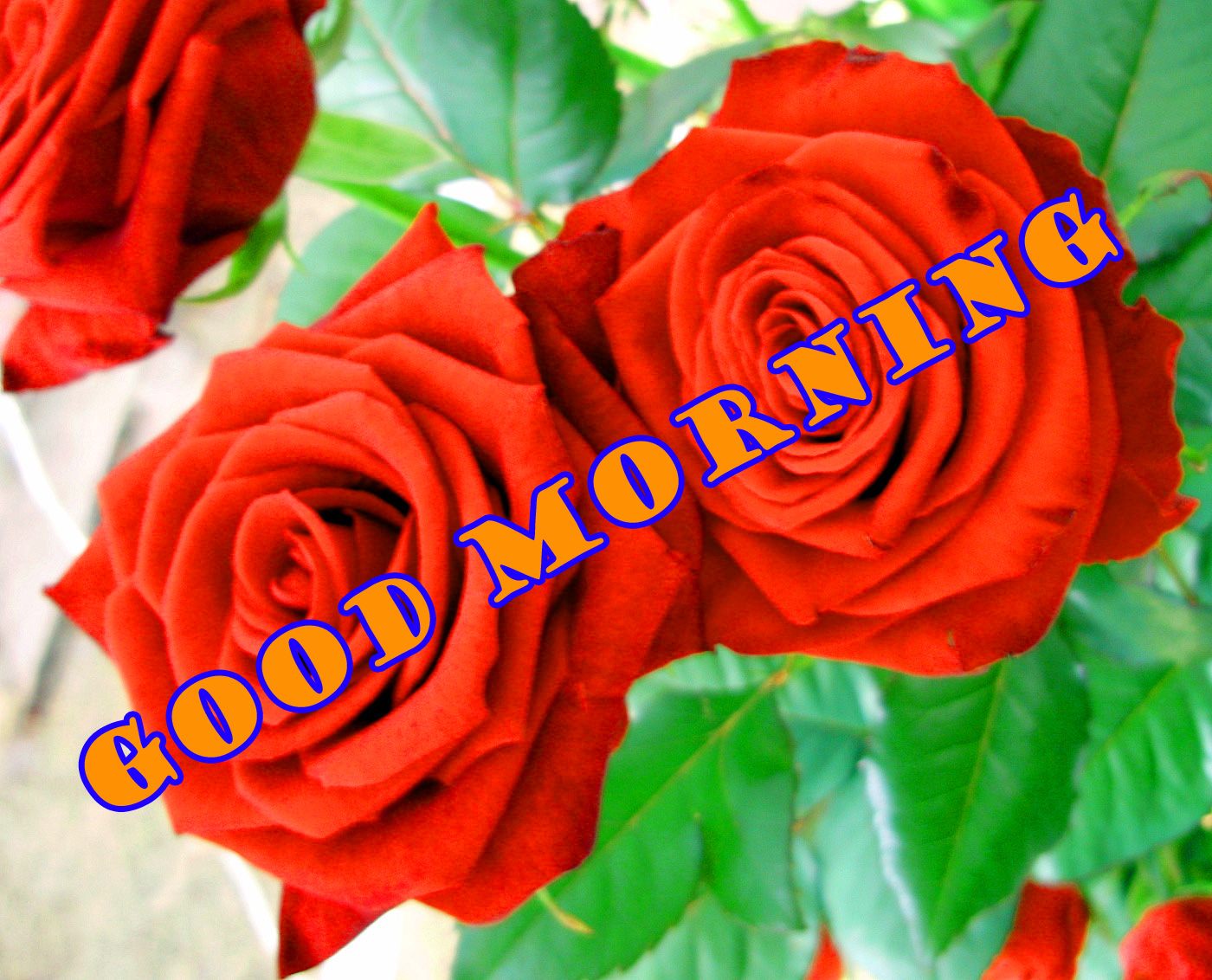 Good Morning Red Rose Wallpaper Photo Images Free Download