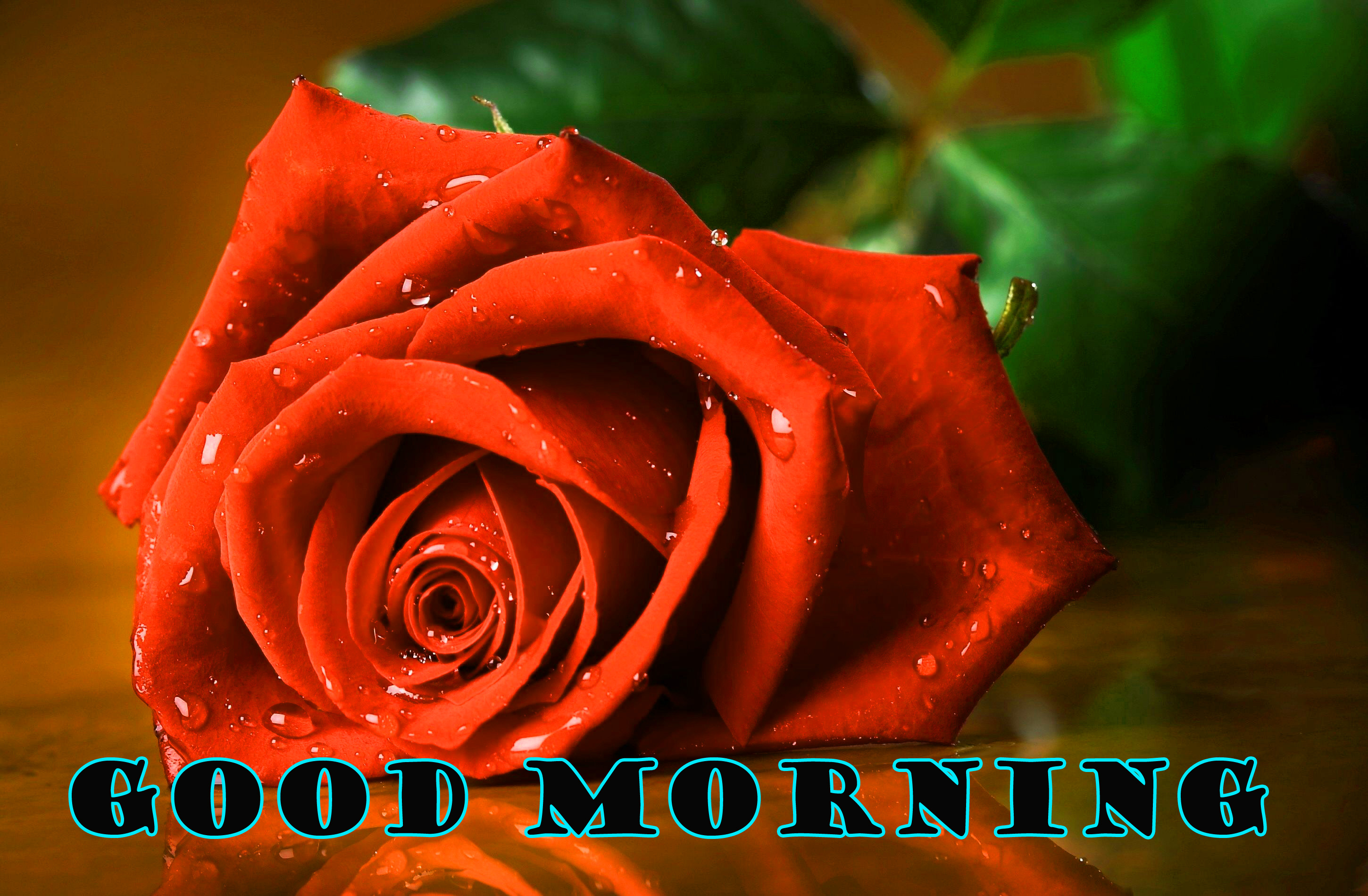 Good Morning Red Rose Photo Images Pictures HD Download
