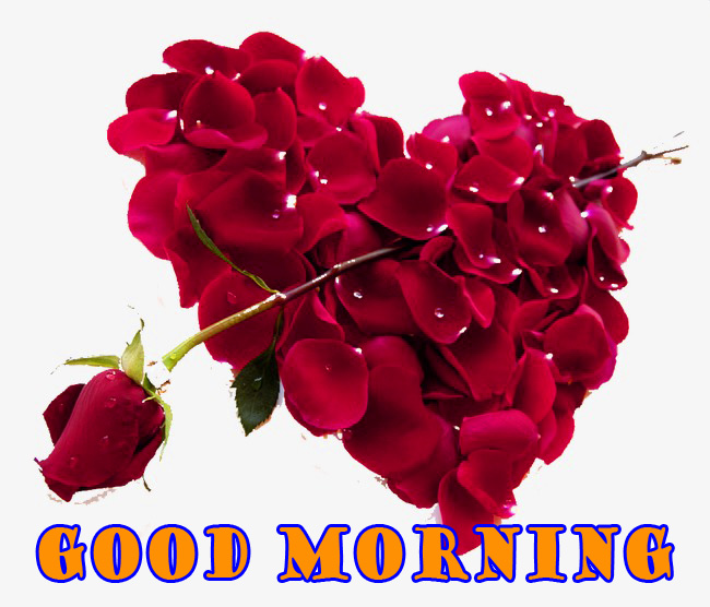 Good Morning Red Rose Wallpaper Pictures Free Download