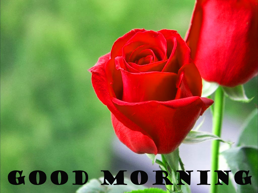 Good Morning Red Rose Wallpaper Pictures Images Download