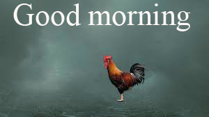 Rooster Good Morning Photo Images Pictures Free HD Download