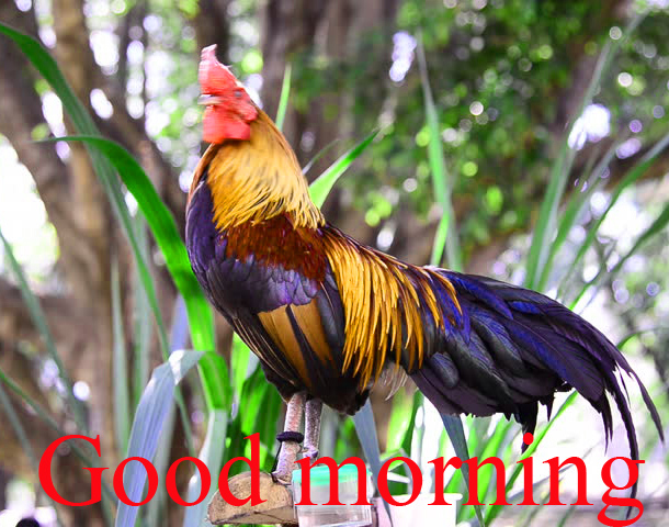 Rooster Good Morning Pictures Images Photo Download In HD