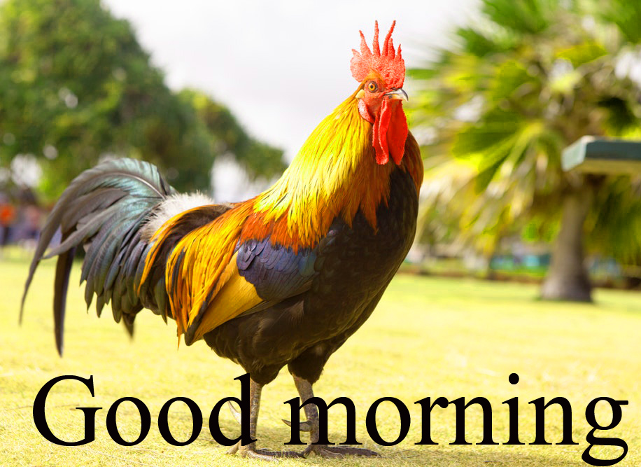 Rooster Good Morning Images Photo Wallpaper Download