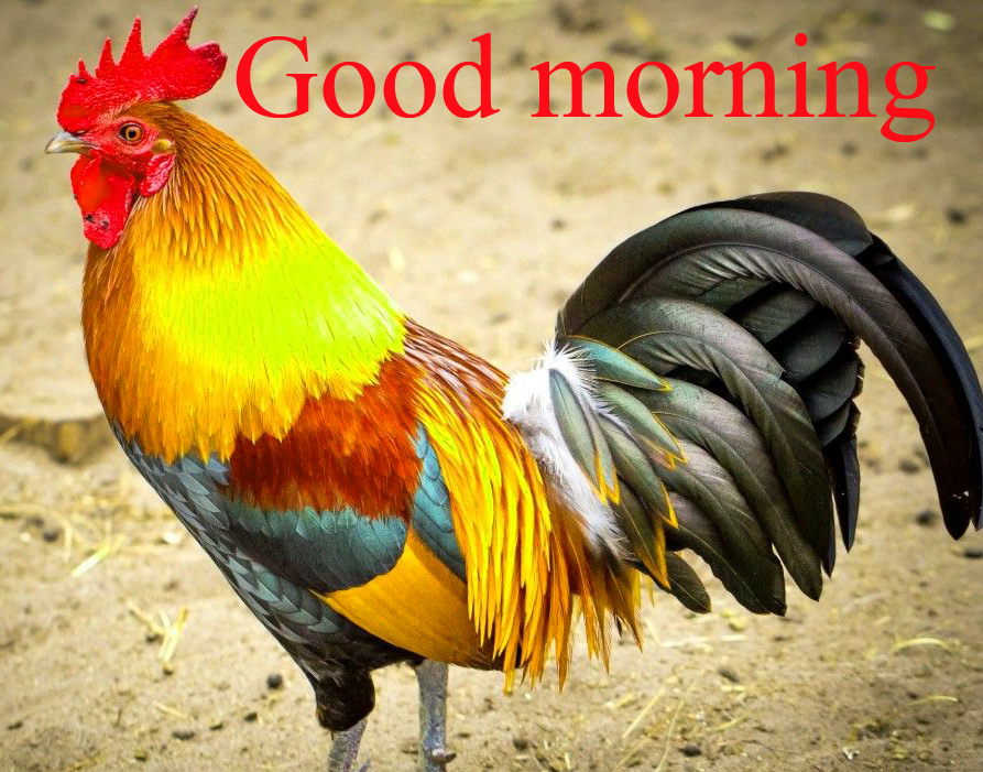 Rooster Good Morning Photo Wallpaper Images Free Download