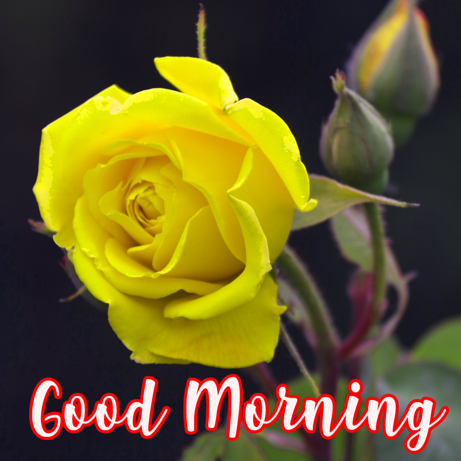 Good Morning Wishes Images With Romantic roses photo Pics Free Download