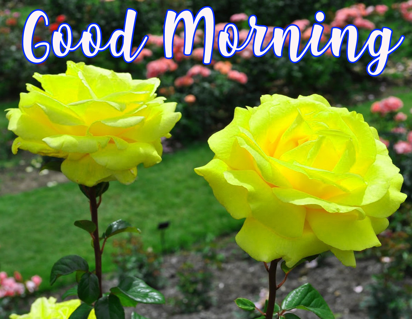Good Morning Wishes Images With Romantic roses photo Pics Free HD