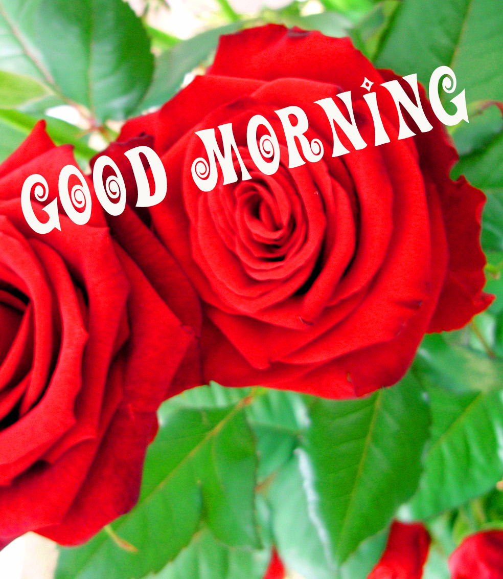 Good morning red rose images Pics Wallpaper for Whatsapp