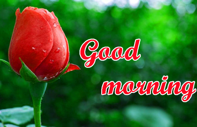 BEAUTIFUL 3D GOOD MORNING IMAGES PHOTO PICS WITH RED ROSE