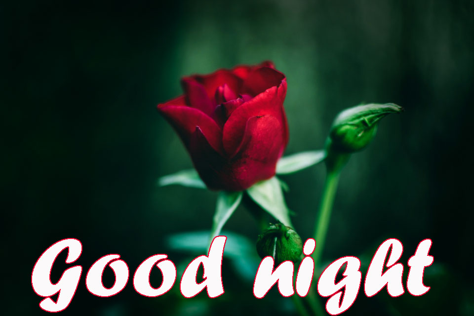 RED ROSE GOOD NIGHT WISHES IMAGES PICS DOWNLOAD