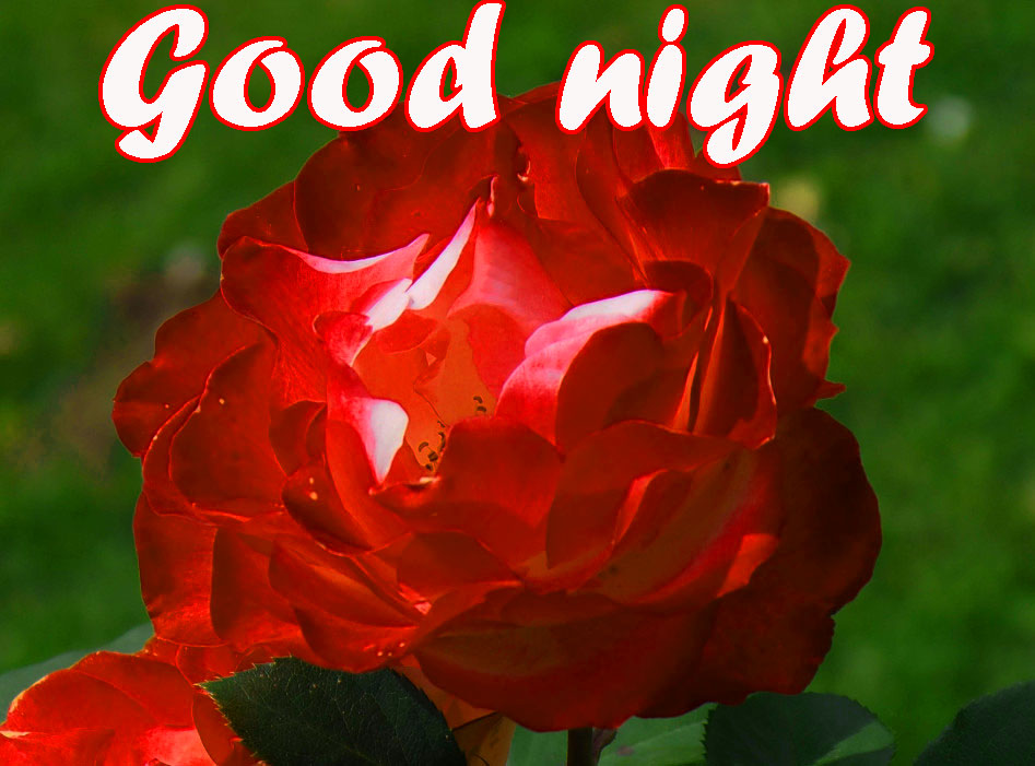 RED ROSE GOOD NIGHT WISHES IMAGES WALLPAPER PICS FOR WHATSAPP