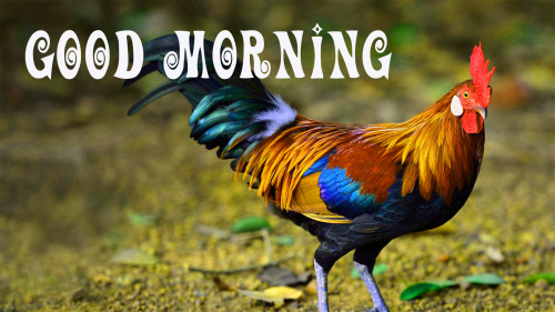 Rooster Good Morning Pictures Wallpaper Free Download