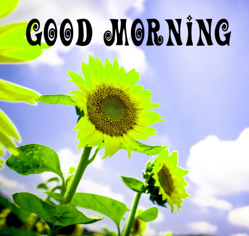 sunflower good morning images Photo Dow load