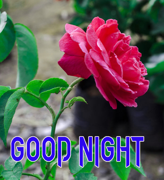 GOOD NIGHT IMAGES FOR LOVER / LOVE COUPLE  IMAGES  PICS WALLPAPER WITH ROSE