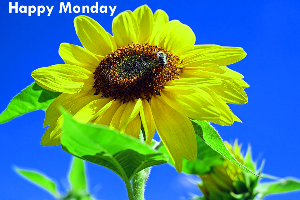 sun-flower-monday-morninng-