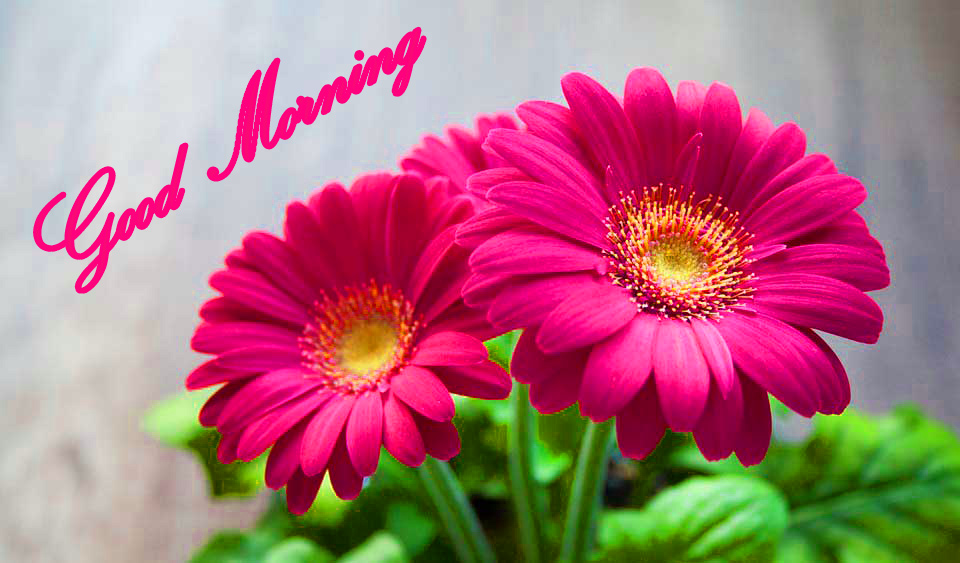 Good Morning Images Wallpaper Pics HD Download for Flower