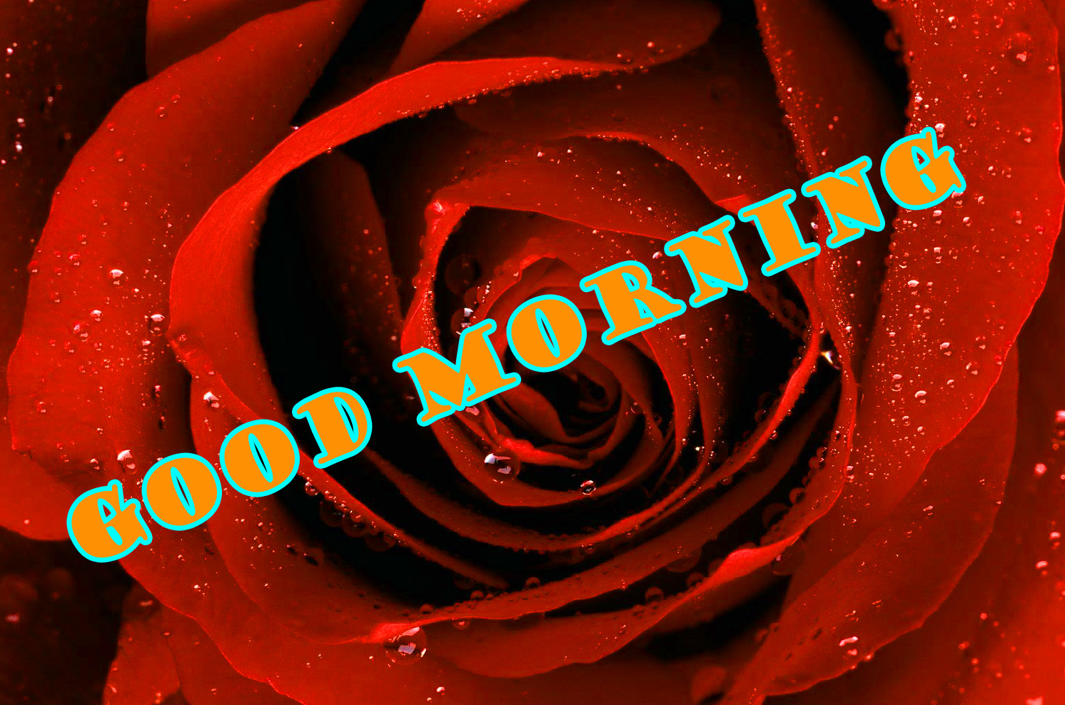 Good Morning Red Rose Images Wallpaper Photo Pics HD Download