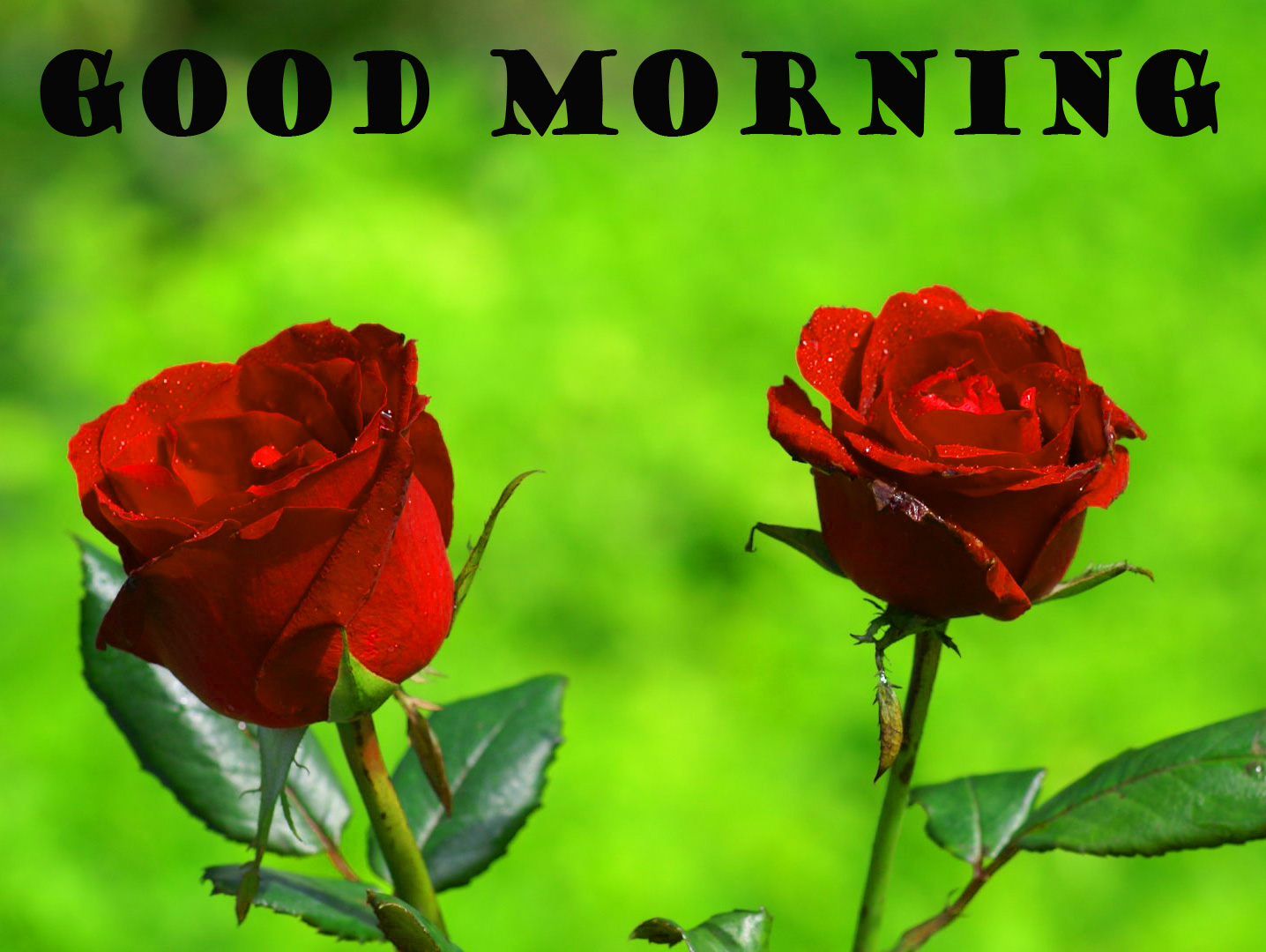 Good Morning Red Rose Photo Pictures Download