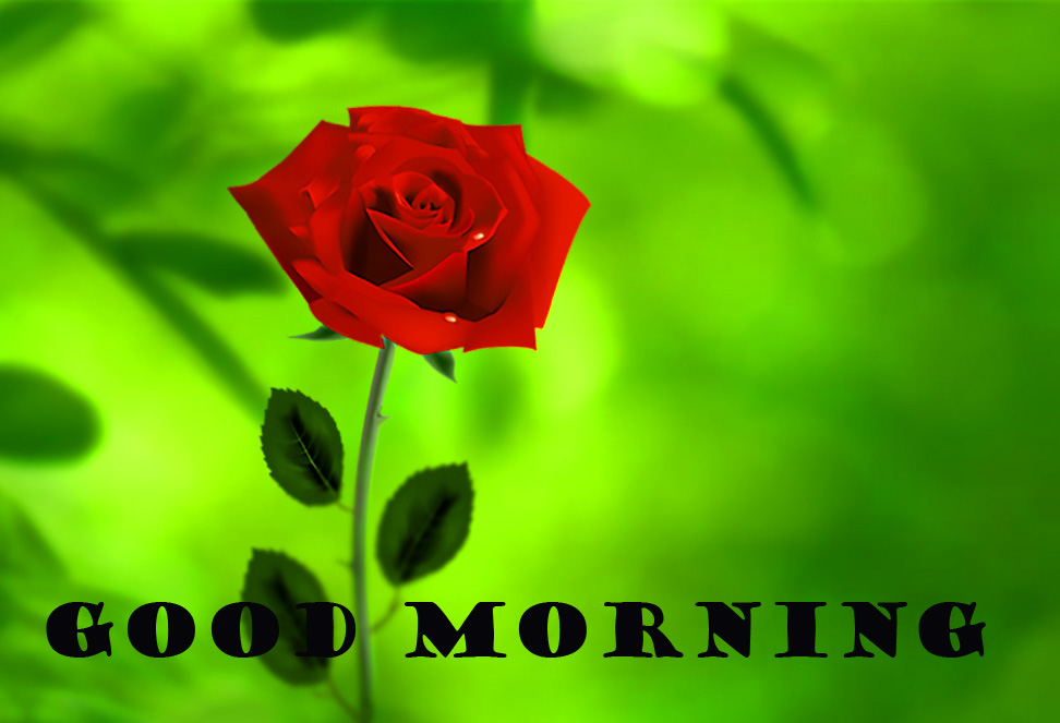 Good Morning Red Rose Pictures Images Download For Whatsapp