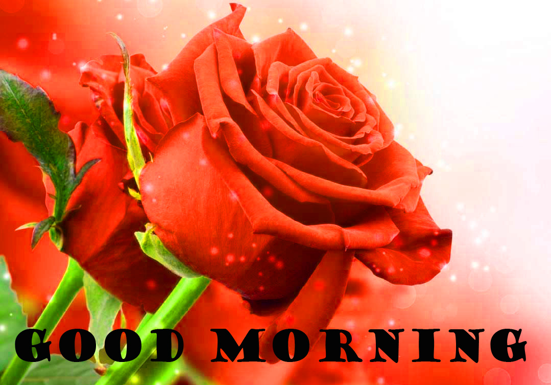 Good Morning Red Rose Images Photo Wallpaper Free Download