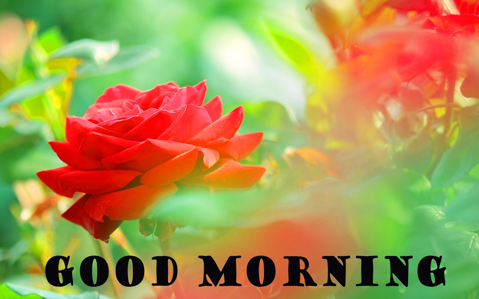 Good Morning Red Rose Wallpaper Pictures For Whatsapp