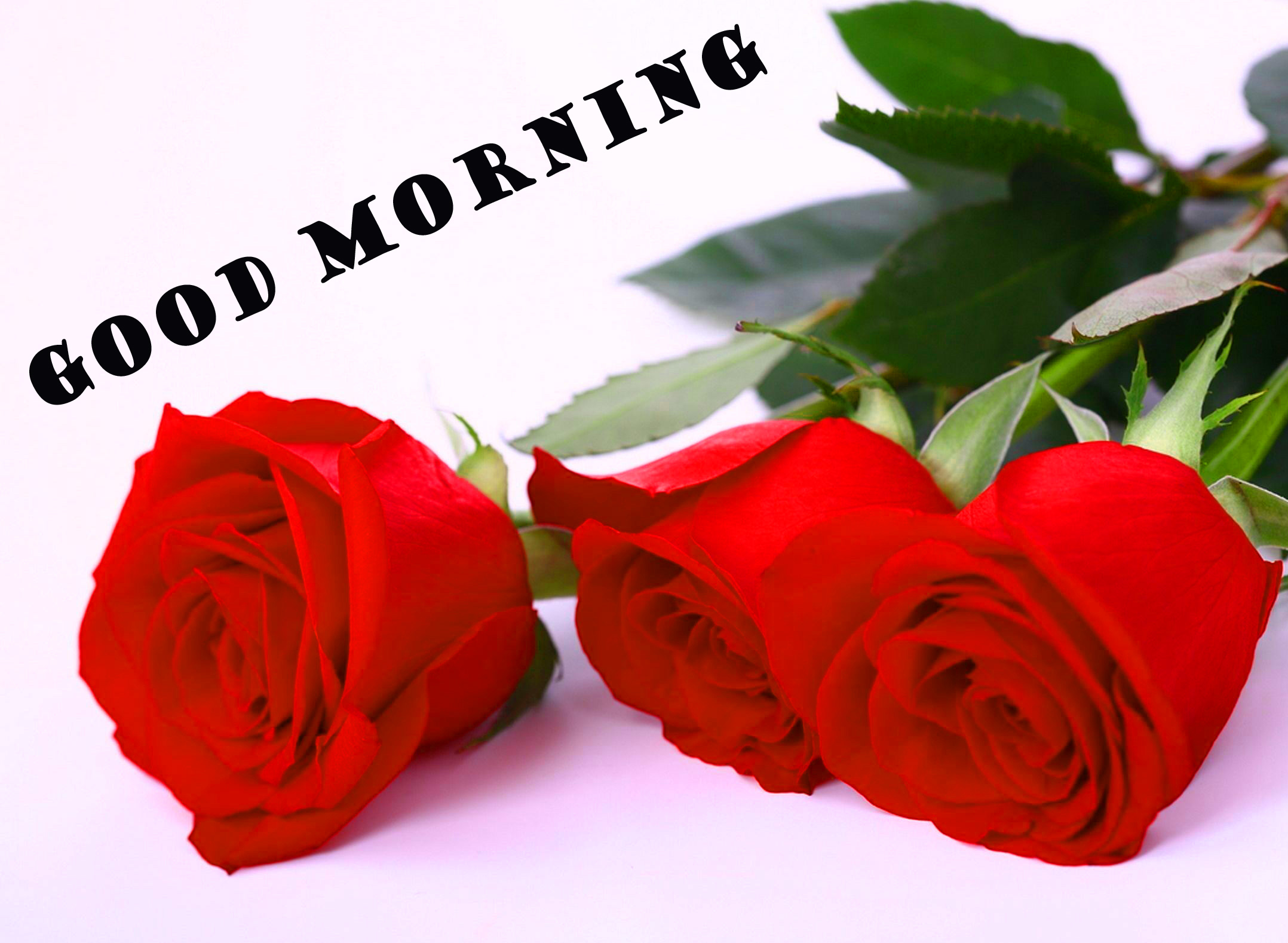 Good Morning Red Rose Wallpaper Pictures Images HD