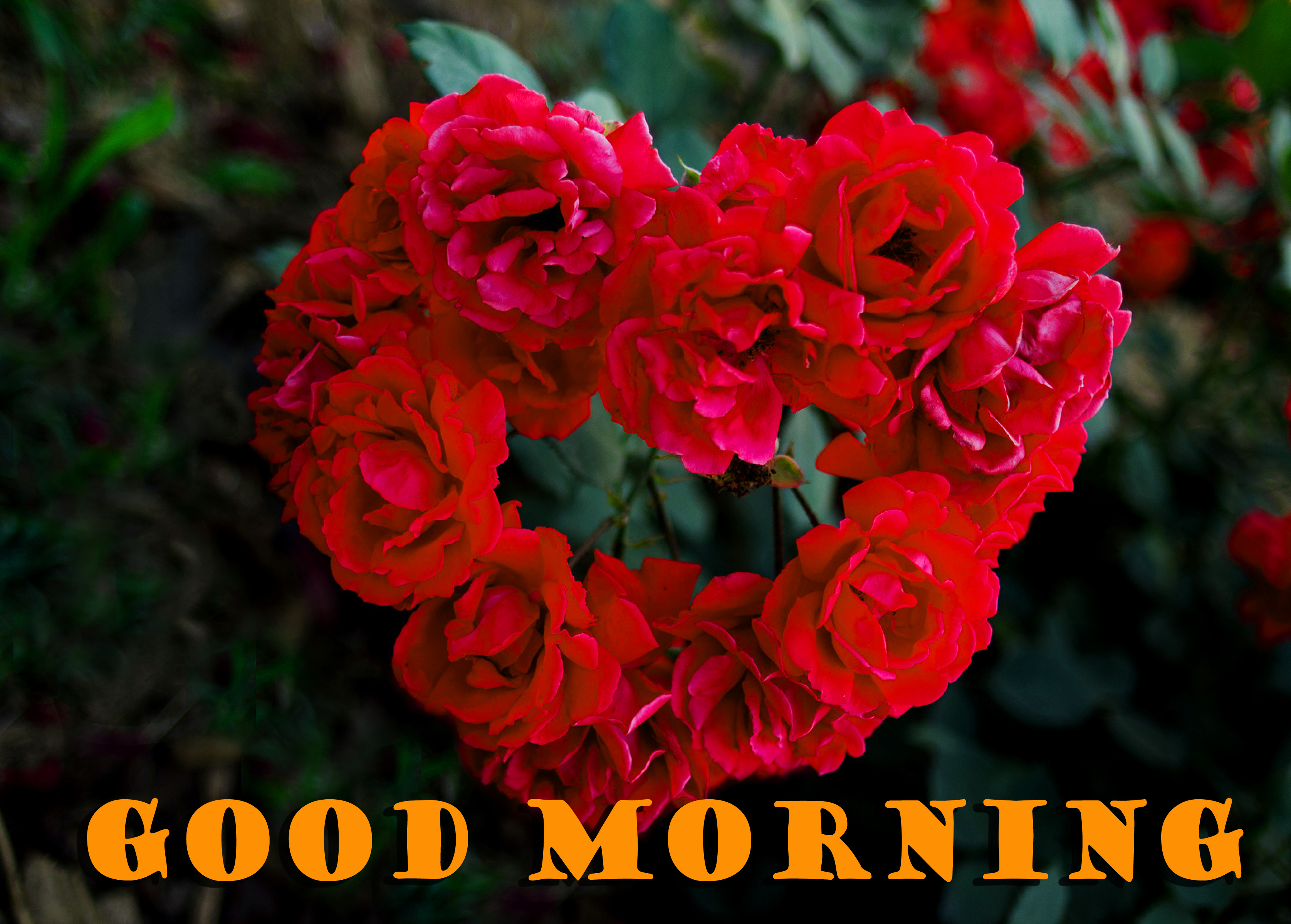 Good Morning Red Rose Pictures Images Download