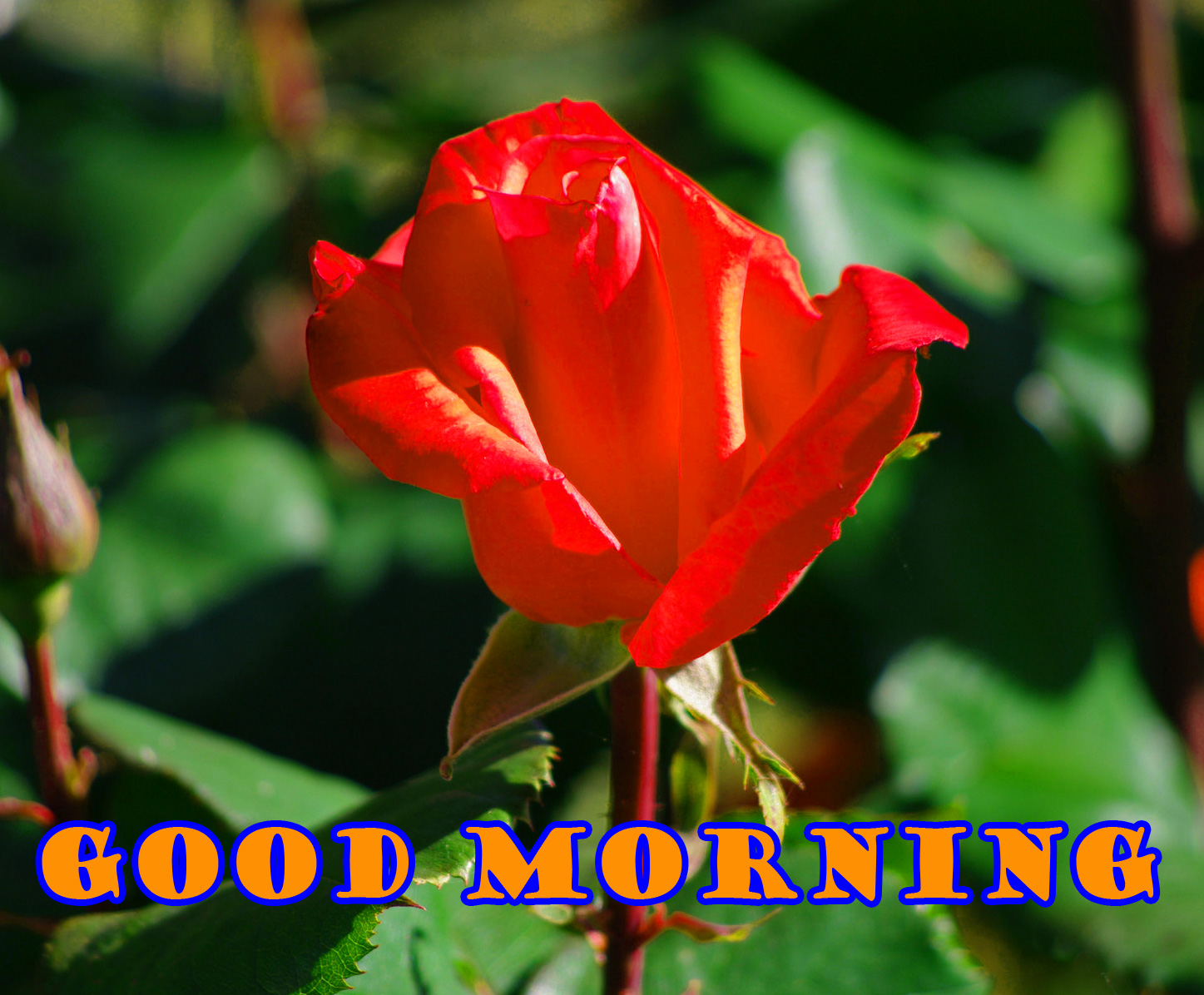 Good Morning Red Rose Photo Wallpaper Pictures Free Download