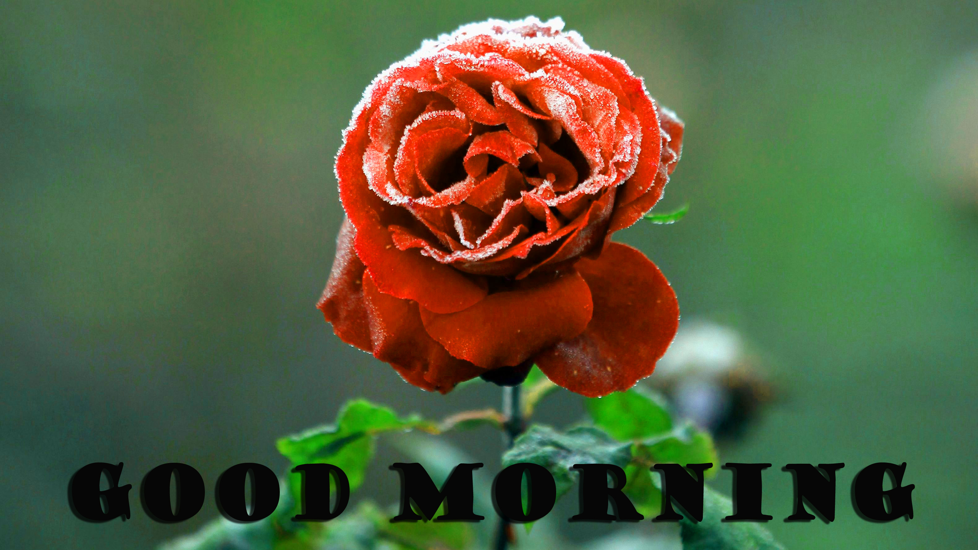 Good Morning Red Rose Pictures Images Photo For Boyfriend