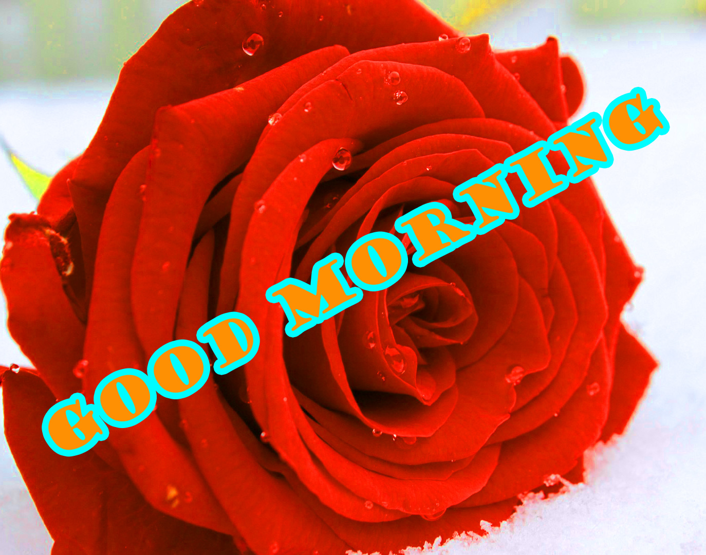 Good Morning Red Rose Photo Pictures Download In HD