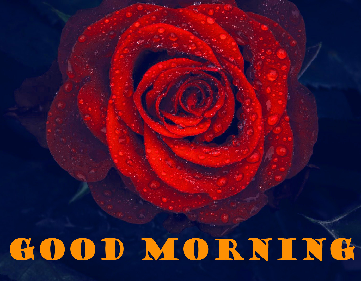 Good Morning Red Rose Wallpaper Pictures Photo HD