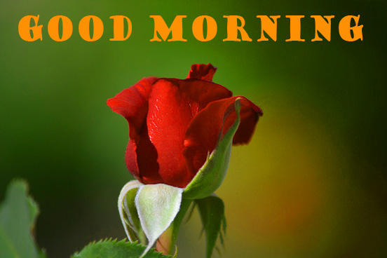 Good Morning Red Rose Pictures Images Photo Wallpaper HD Download