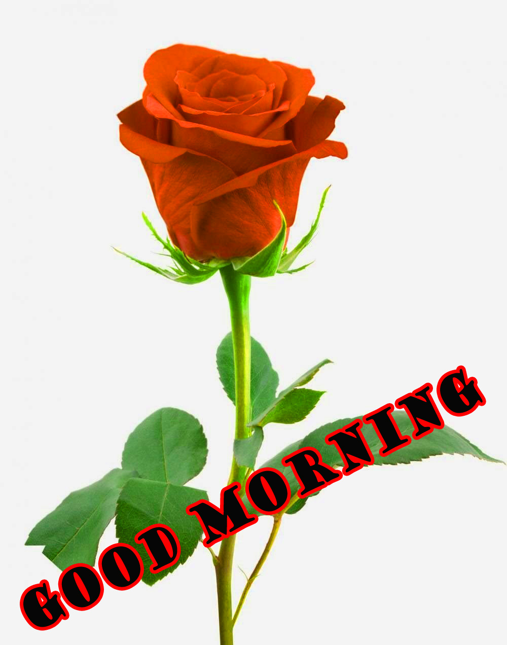 Good Morning Red Rose Wallpaper Pictures For Best Friend