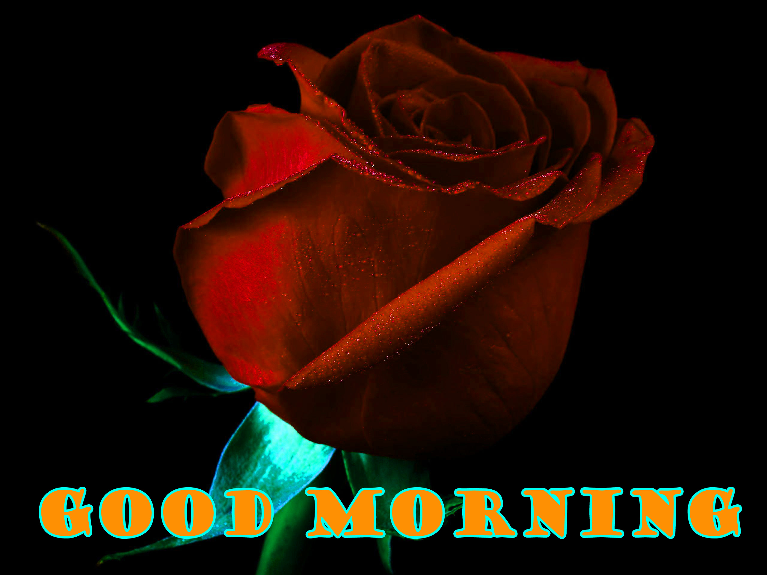 Good Morning Red Rose Photo Wallpaper Free HD Download