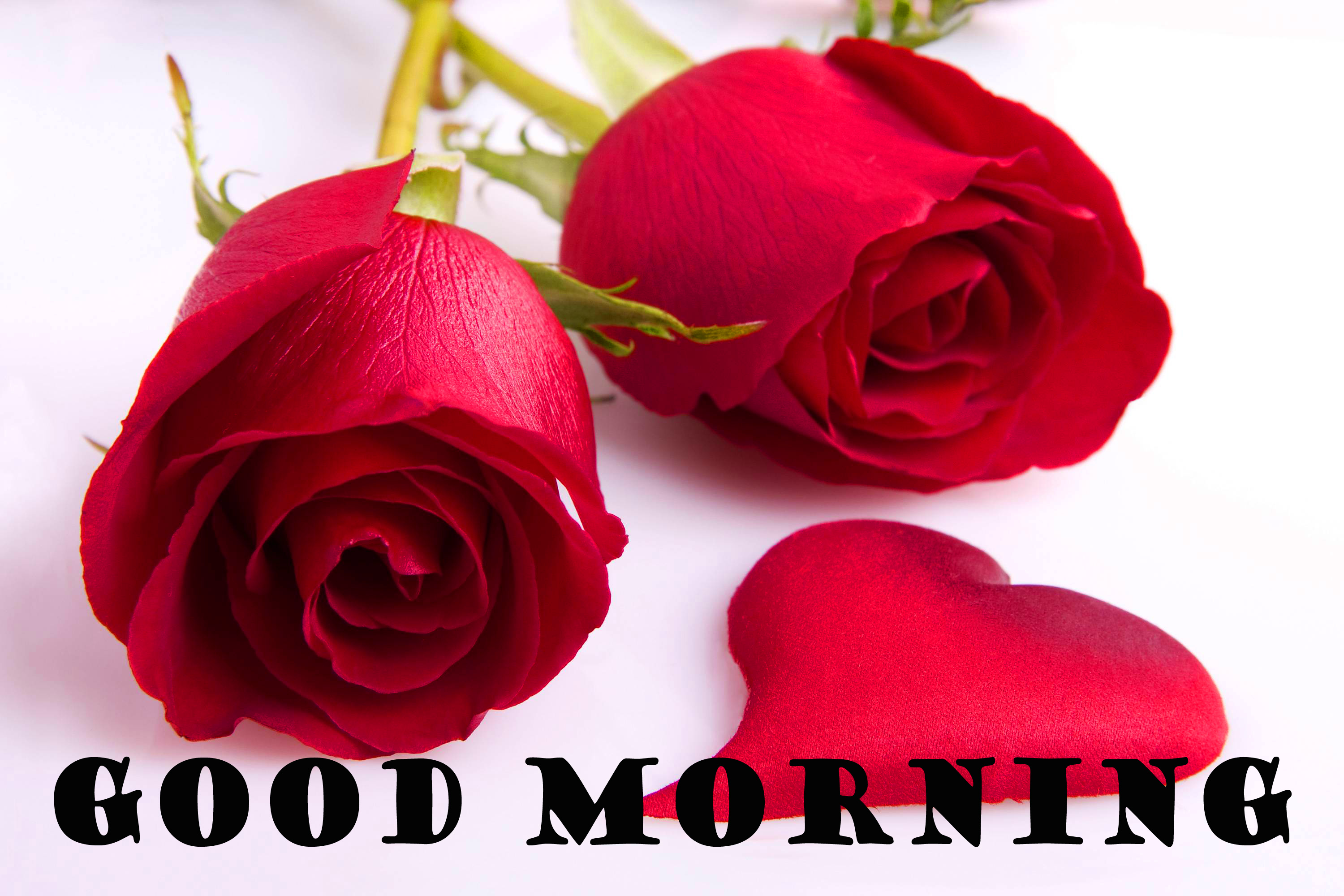 Good Morning Red Rose Photo Images Pictures Free Download