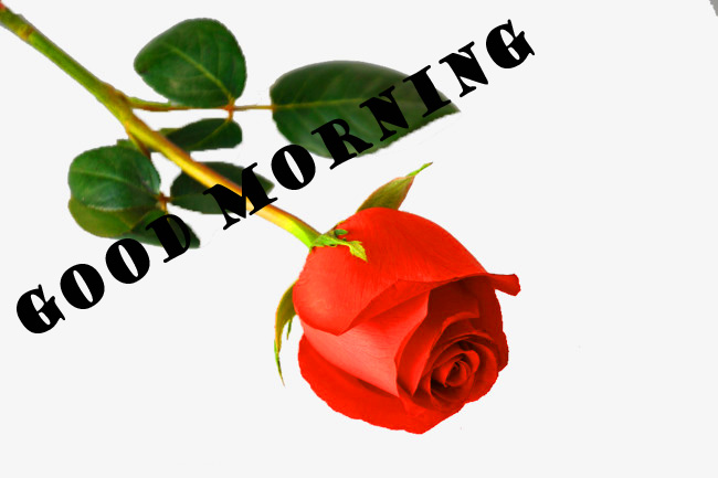 Good Morning Red Rose Photo Wallpaper Pictures Free HD Download