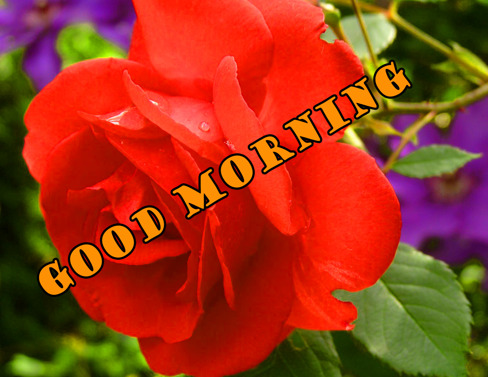 Good Morning Red Rose Photo Images Wallpaper HD Download