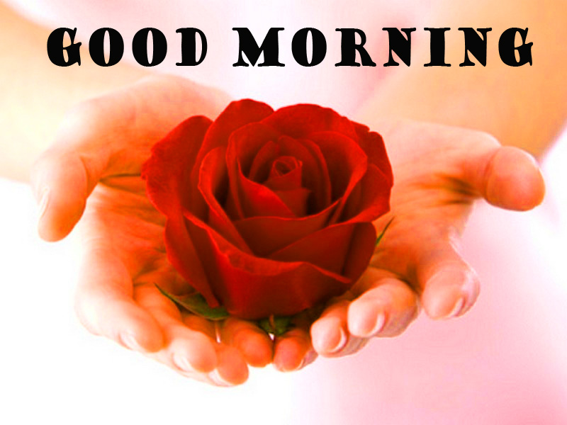 Good Morning Red Rose Photo Pictures Images Download