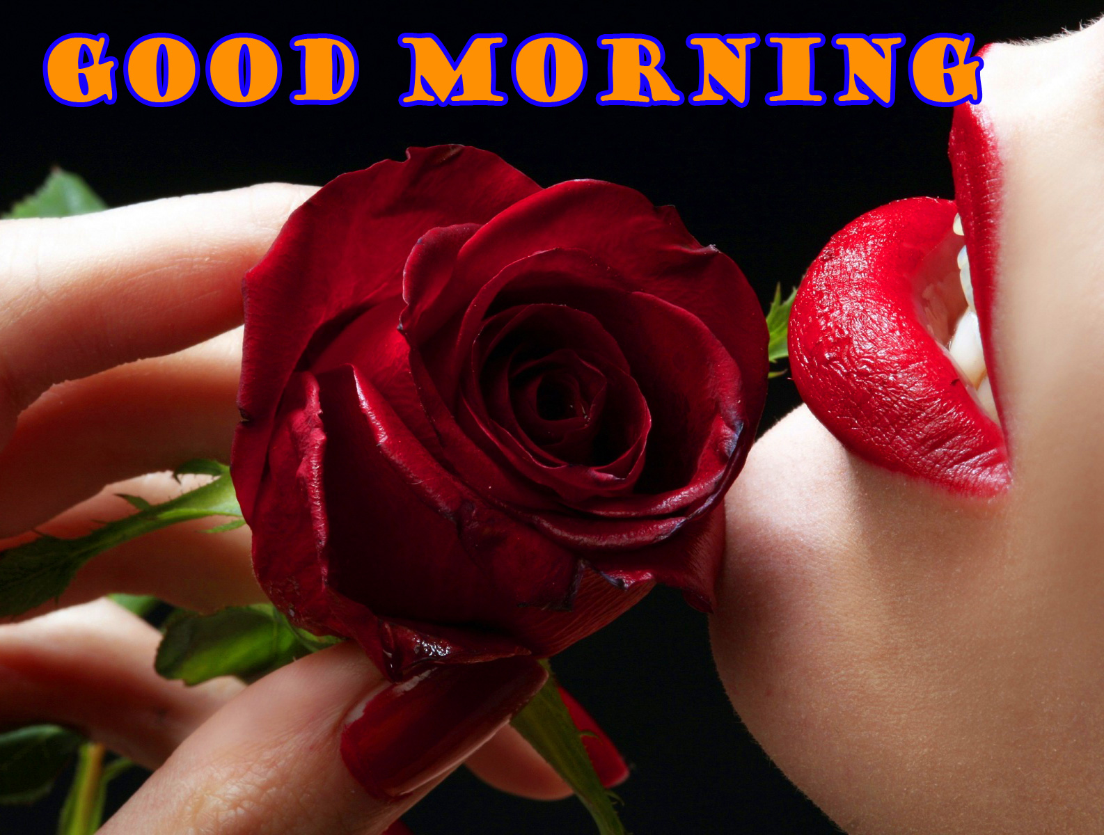 Good Morning Red Rose Photo Pictures Free HD Download