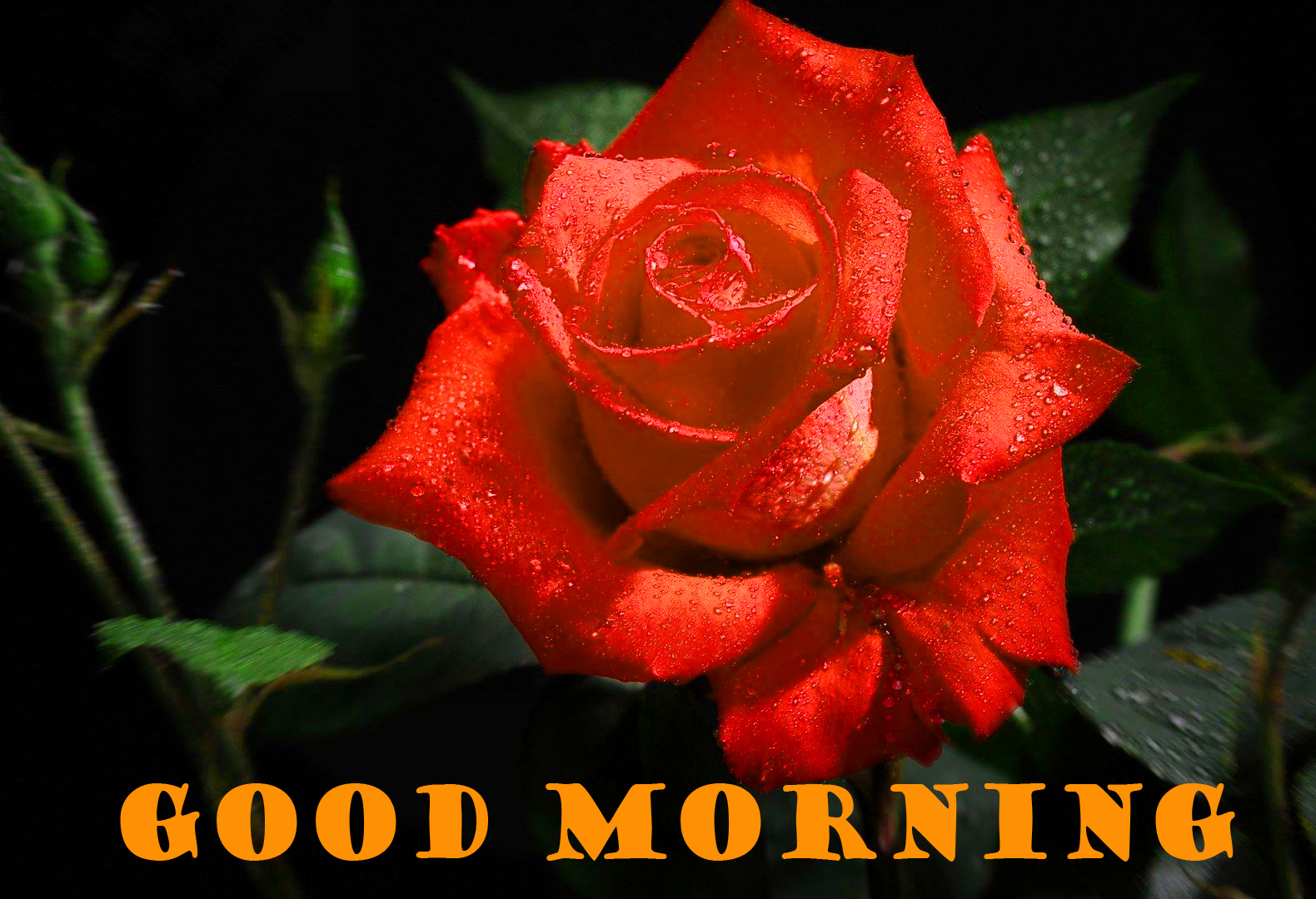 Good Morning Red Rose Photo Wallpaper Download For Whatsapp
