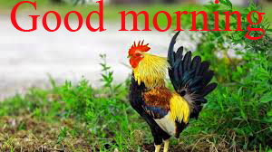 Rooster Good Morning Pictures Images Photo HD Download