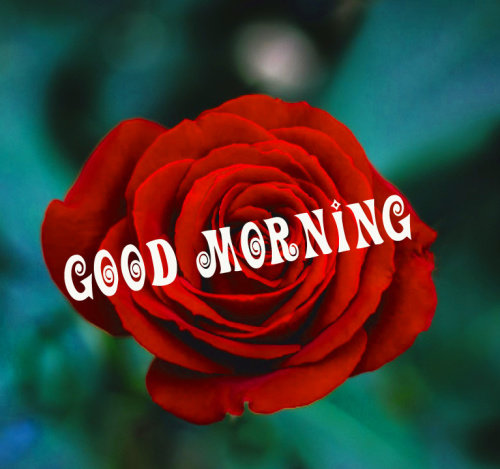 Good morning red rose images Pics Wallpaper HD